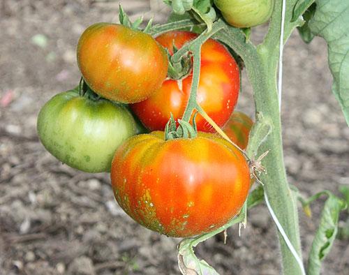 tomaten f r den feinen geschmack eppenberger media gmbh. Black Bedroom Furniture Sets. Home Design Ideas