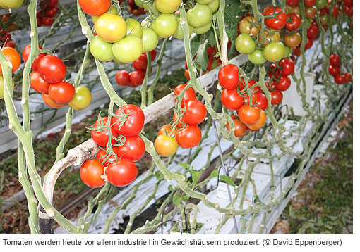 Industrielle Tomatenproduktion in Westland
