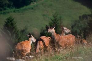 Jeweils Juni bringen die Hirschkühe auf der Weide ihre Kälber auf die Welt.