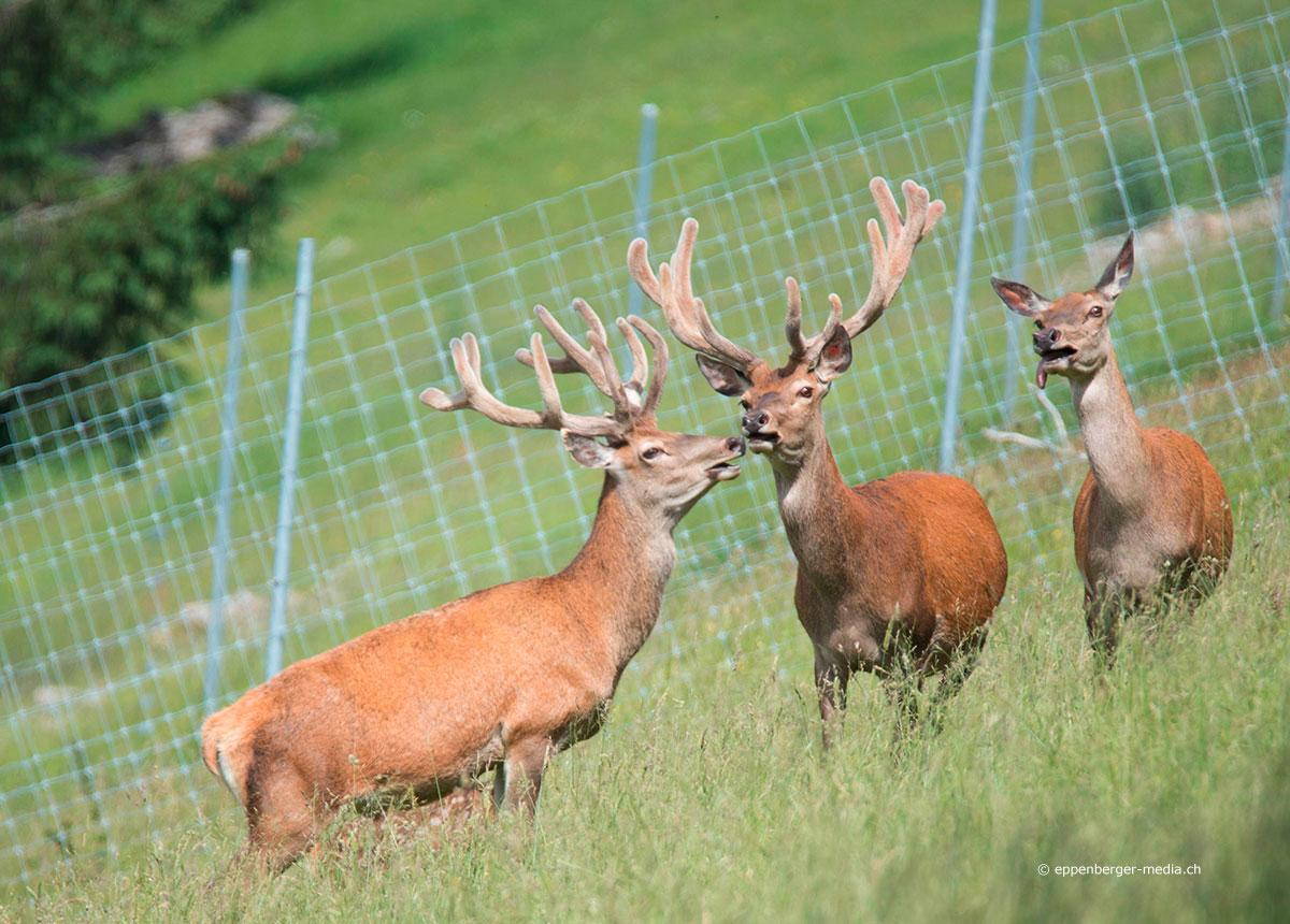 Die Herde mit den zwei Hirschstieren lebt selbständig auf der grossen Jura-Weide.